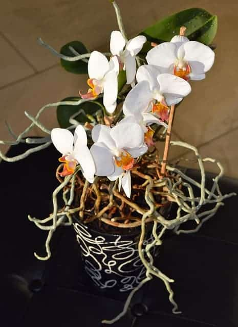 orchids roots